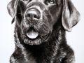 Labrador Kohlezeichnung
